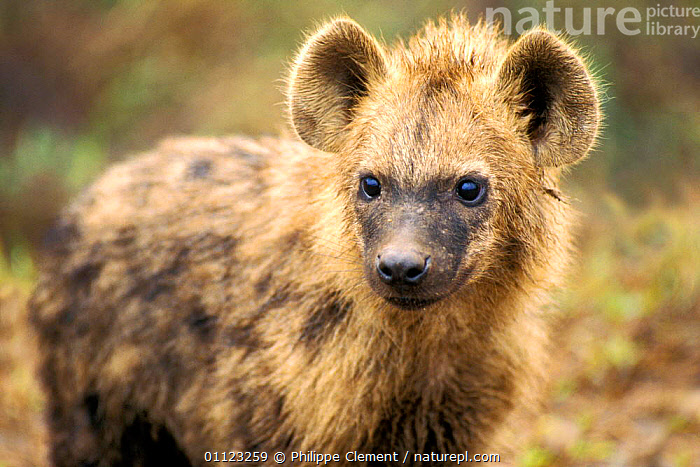 Spotted hyaena juvenile {Crocuta crocuta} Kruger, South Africa  ,  CARNIVORES,HYAENAS,MAMMALS,NP,PORTRAITS,SOUTH AFRICA,National Park  ,  Philippe Clement