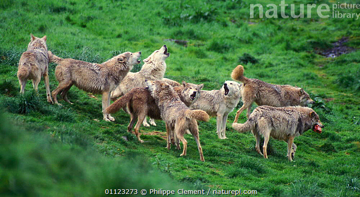 Grey wolf pack howling {Canis lupus} captive, Kincraig wildlife park, Scotland  ,  BEHAVIOUR,CARNIVORES,GROUPS,MAMMALS,VOCALISATION,WOLVES,Dogs,Canids  ,  Philippe Clement