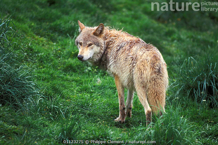 Grey wolf portriat {Canis lupus} captive, Kincraig wildlife park, Scotland  ,  CARNIVORES,MAMMALS,PACK,WOLVES,Dogs,Canids  ,  Philippe Clement