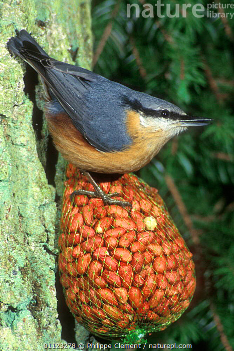 Nuthatch feeds on peanuts at feeder {Sitta europaea} Belgium  ,  BIRDS,EUROPE,FEEDERS,FEEDING,GARDENS,NUTHATCHES,NUTS,TREES,TRUNK,TRUNKS,VERTICAL,Plants  ,  Philippe Clement