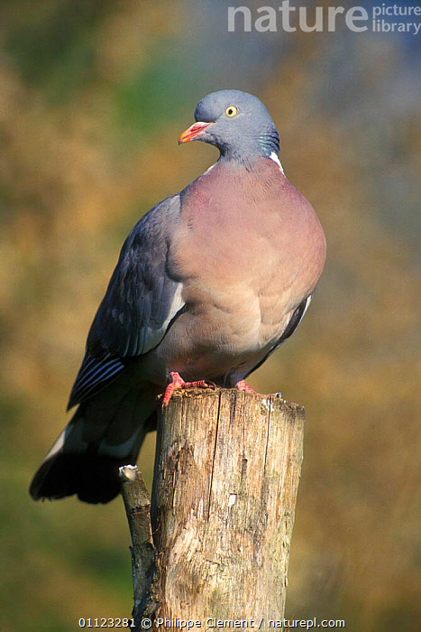 Wood pigeon perched {Columba palumbus} Belgium  ,  BIRDS,EUROPE,PIGEONS,PORTRAITS,VERTICAL , woodpigeon  ,  Philippe Clement