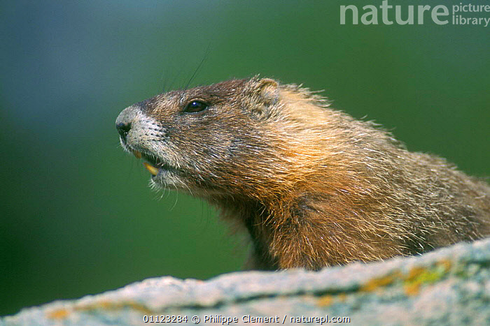 Yellow bellied marmot {Marmota flaviventris} Yellowstone, USA  ,  MAMMALS,MARMOTS,NORTH AMERICA,NP,PORTRAITS,PROFILE,ROCK,RODENTS,USA,National Park  ,  Philippe Clement