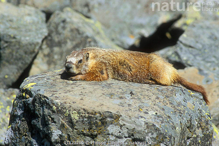 Yellow bellied marmot basking on rock {Marmota flaviventris} Yellowstone, USA  ,  BEHAVIOUR,MAMMALS,MARMOTS,NORTH AMERICA,NP,RODENTS,THERMOREGULATION,USA,National Park  ,  Philippe Clement