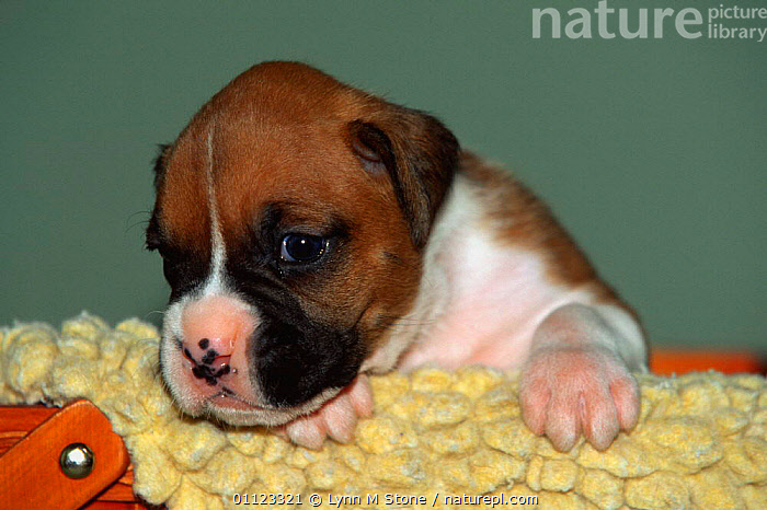 Boxer puppy {Canis familiaris} USA  ,  BABIES,CANIDS,CARNIVORES,CUTE,DOGS,MAMMALS,NORTH AMERICA,PETS,PUPPIES,PUPS,USA,VERTEBRATES  ,  Lynn M Stone