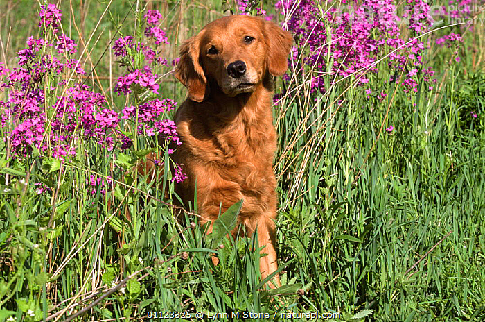 Golden retriever amongst meadow flowers {Canis familiaris} USA  ,  CANIDS,CARNIVORES,DOGS,FLOWERS,MAMMALS,NORTH AMERICA,OUTDOORS,PETS,SPRING,SUMMER,USA,VERTEBRATES  ,  Lynn M Stone