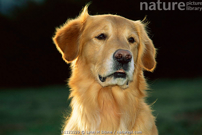 Golden retriever portrait {Canis familiaris} USA.  ,  DOGS,PETS,PORTRAITS,USA,CARNIVORES,MAMMALS,North America,Canids  ,  Lynn M Stone
