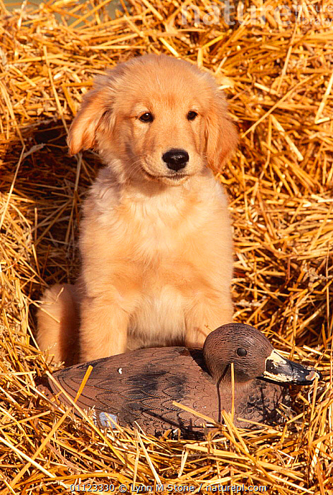 Golden retriever puppy with decoy duck {Canis familiaris} USA  ,  BABIES,CANIDS,CARNIVORES,DOGS,JUVENILE,MAMMALS,NORTH AMERICA,PETS,PUPPIES,PUPS,USA,VERTEBRATES,VERTICAL,WATERFOWL,YOUNG  ,  Lynn M Stone