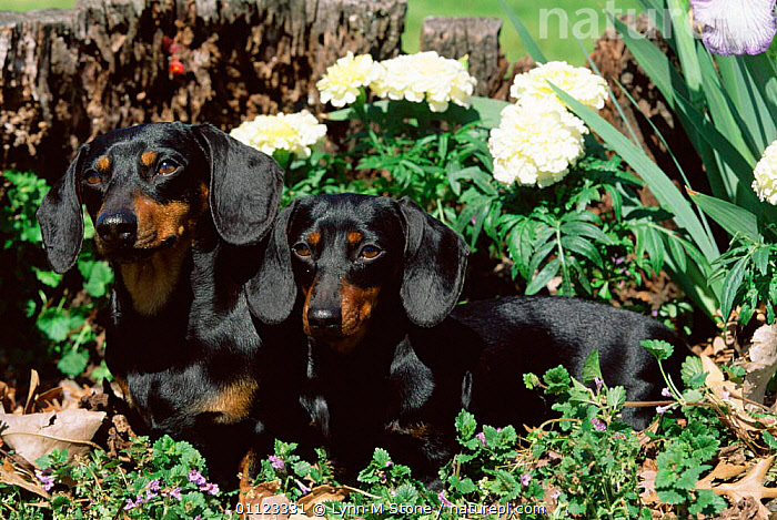 Two Dachshund {Canis familiaris} USA.  ,  CARNIVORES,MAMMALS,DOGS,PAIR,USA,DACHSHUNDS,PETS,North America,Canids  ,  Lynn M Stone