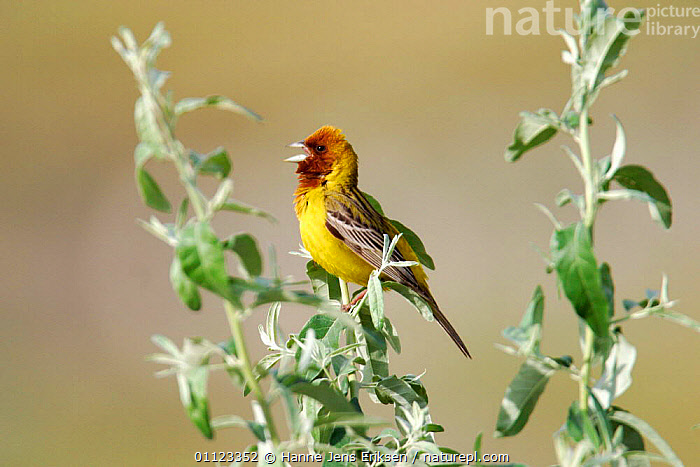 Red-headed bunting singing {Emberiza bruniceps} Kyrgyzstan, Asia  ,  BEHAVIOUR,BIRDS,BUNTINGS,VOCALISATION  ,  Hanne Jens Eriksen