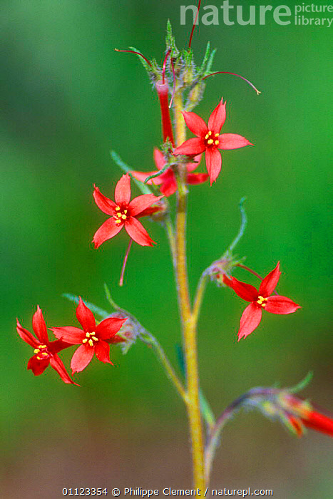 Sky rocket {Ipomopsis aggregata} Grand Tetons National Park, Wyoming, USA  ,  FLOWERS,NORTH AMERICA,NP,PLANTS,RED,TETONS,USA,VERTICAL,National Park  ,  Philippe Clement