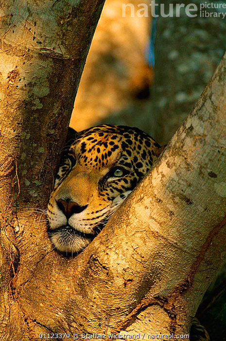 Jaguar resting head in tree {Panthera onca} captive, Pantanal, Brazil  ,  CARNIVORES,CATS,FACES,MAMMALS,SOUTH AMERICA  ,  Staffan Widstrand