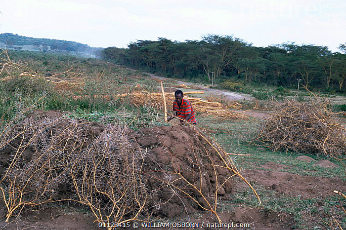 Virgin acacia forest destruction for charcoal, Naivasha, Kenya, Africa  ,  AFRICA,DEFORESTATION,DESTRUCTION,EAST AFRICA,FUEL,HORIZONTAL,NP,PEOPLE,RESERVE,National Park,EAST-AFRICA  ,  WILLIAM OSBORN