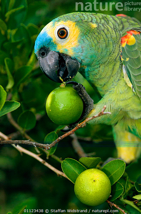 Blue fronted amazon parrot holding citrus fruit in claw, Brazil.  ,  BEHAVIOUR,BIRDS,BRAZIL,FEEDING,PANTANAL,PARROTS,SOUTH AMERICA,VERTICAL  ,  Staffan Widstrand
