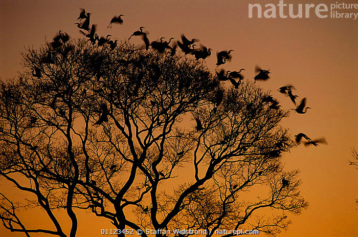 Silhouette of Great egrets roosting in tree {Ardea alba} Pantanal, Brazil.  ,  BIRDS, FLOCKS, GROUPS, HERONS, PLANTS, SILHOUETTES, SUNSET, TREES, VERTEBRATES  ,  Staffan Widstrand