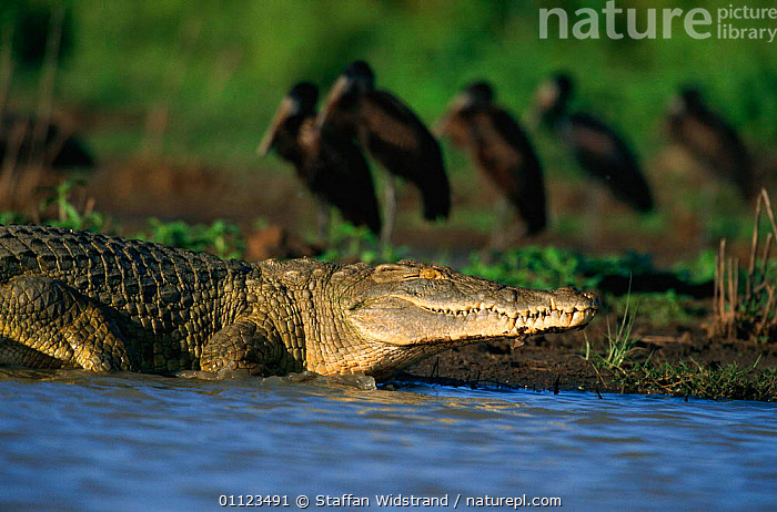 Nile crocodile {Crocodylus niloticus} Selous Game Reserve, Tanzania.  ,  BIRDS,CROCODILES,EAST AFRICA,MIXED SPECIES,REPTILES,RIVERS,TANZANIA,Africa,Crocodylia, Crocodiles  ,  Staffan Widstrand
