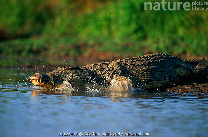 Nile crocodile entering water {Crocodylus niloticus} Selous GR, Tanzania  ,  ACTION,CROCODILES,EAST AFRICA,GAME,MOVEMENT,REPTILES,RESERVE,RIVERS,Africa,Crocodylia, Crocodiles  ,  Staffan Widstrand