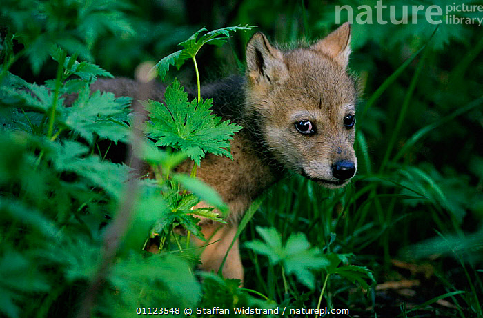 Grey wolf pup {Canis lupus} captive, Norway.  ,  BABIES,CARNIVORES,CUTE,EUROPE,MAMMALS,NORWAY,SCANDINAVIA,WOLVES,Dogs,Canids  ,  Staffan Widstrand