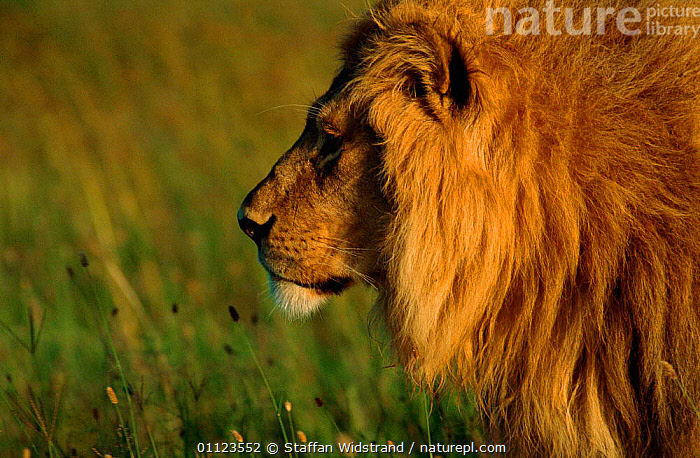 Male Lion {Panthera leo} head profile, Serengeti NP. Tanzania  ,  CARNIVORES,EAST AFRICA,MALES,MAMMALS,NP,RESERVE,Africa,National Park,Lions,Big Cats,,Serengeti National Park, UNESCO World Heritage Site,  ,  Staffan Widstrand
