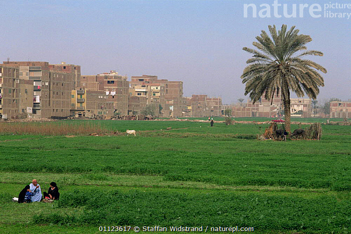 Agricultural / livestock grazing land in suburbs of Cairo, Egypt, North Africa  ,  AFRICA,AGRICULTURE,BUILDINGS,CITIES,GRAZING,LANDSCAPES,LIVESTOCK,NORTH AFRICA,PALM,PEOPLE,SUBURBS,TREES,URBAN,Plants,NORTH-AFRICA  ,  Staffan Widstrand