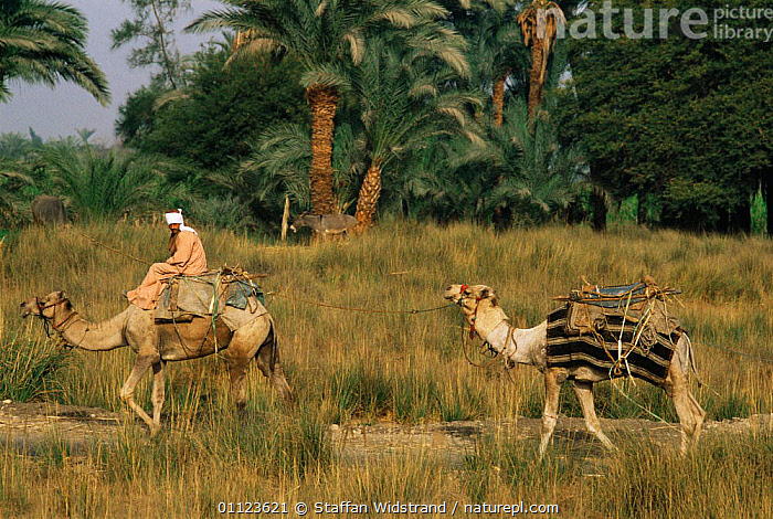 Dromedary camels used as local transport, Egypt  ,  AFRICA,ARTIODACTYLA,CAMELS,COUNTRYSIDE,DOMESTIC,DOMESTICATED,LIVESTOCK,MAMMALS,NORTH AFRICA,PEOPLE,TRADITIONAL,TRANSPORT,TRAVEL,WORKING,NORTH-AFRICA  ,  Staffan Widstrand