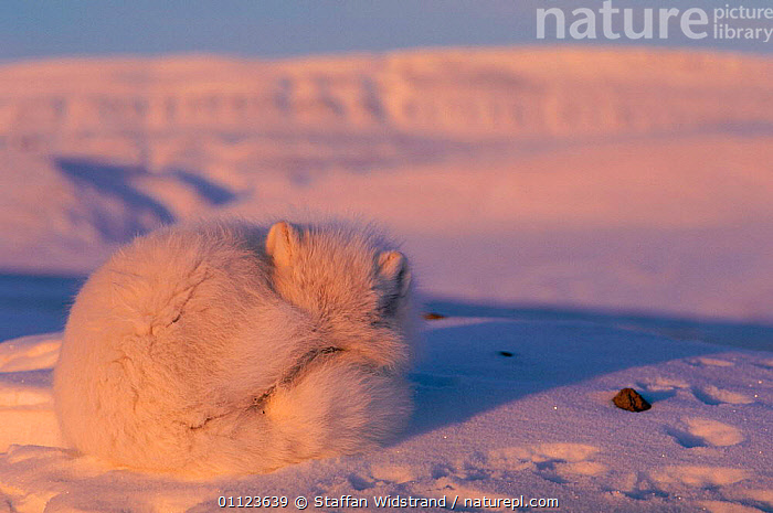 Arctic fox curled up resting {Alopes lagopus} Ellesmere Island, Canada.  ,  ALOPES,CAMOUFLAGE,CANADA,CARNIVORES,FOXES,MAMMALS,NORTH AMERICA,SLEEPING,SNOW,WHITE,Dogs,Canids,Catalogue1  ,  Staffan Widstrand