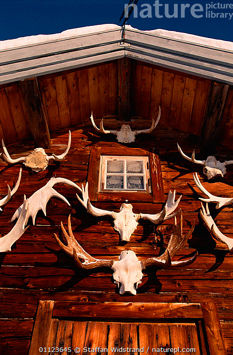 Moose antlers hung on outside of wooden house, Sweden.  ,  BUILDINGS,LANDSCAPES,SCANDINAVIA,VERTICAL EUROPEAN ELK,Europe, Scandinavia  ,  Staffan Widstrand