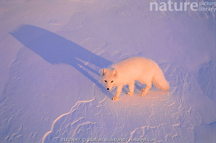 Arctic fox on snow {Alopes lagopus} Ellesmere Island, Canada.  ,  ALOPES,CAMOUFLAGE,CANADA,CARNIVORES,FOXES,MAMMALS,NORTH AMERICA,WHITE,Dogs,Canids  ,  Staffan Widstrand