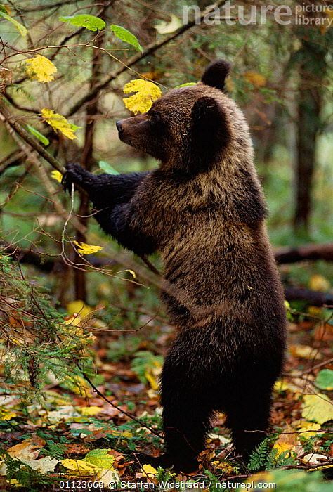 Brown bear standing on back legs to feed {Ursus arctos} Tver district, Russia.  ,  ASIA,BEARS,CARNIVORES,EUROPE,FEEDING,MAMMALS,RUSSIA,WOODLAND,WOODLANDS  ,  Staffan Widstrand