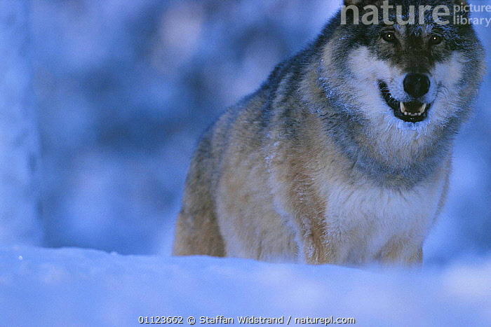 Grey wolf in snow {Canis lupus} Sweden. captive  ,  CARNIVORES,EUROPE,MAMMALS,SCANDINAVIA,SWEDEN,WINTER,WOLVES,Dogs,Canids  ,  Staffan Widstrand