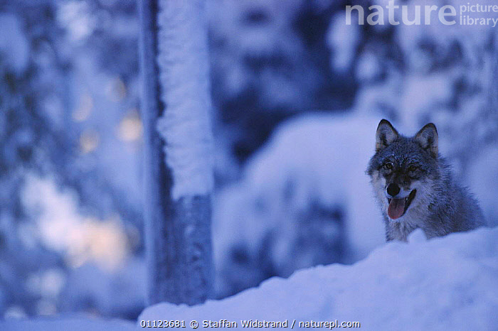 Grey wolf in snow {Canis lupus} captive, Sweden.  ,  CARNIVORES,EUROPE,MAMMALS,SCANDINAVIA,SWEDEN,WINTER,WOLVES,Dogs,Canids  ,  Staffan Widstrand