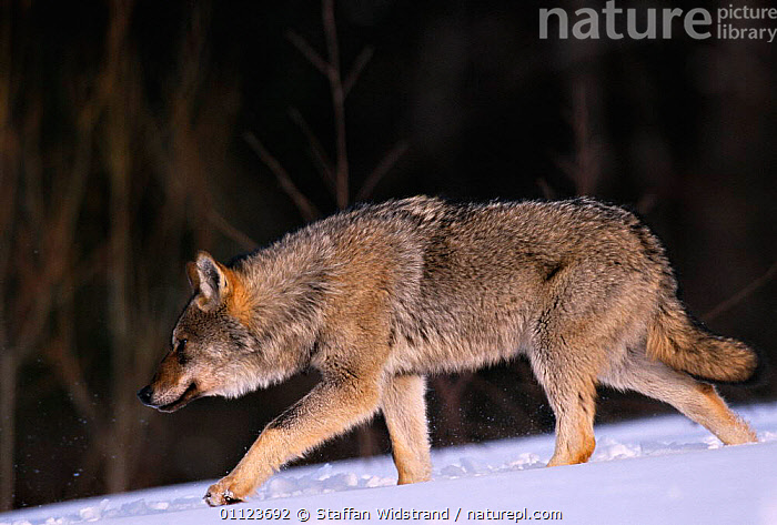 Grey wolf {Canis lupus} walking in snow, Toropets, Russia.  ,  CARNIVORES,MAMMALS,MOVEMENT,RUSSIA,WINTER,WOLVES,Dogs,Canids  ,  Staffan Widstrand