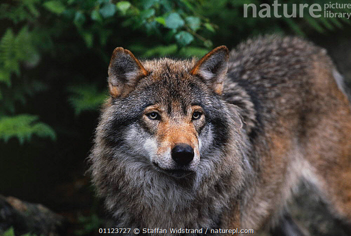 Grey wolf {Canis lupus} captive, Sweden.  ,  CARNIVORES,EUROPE,MAMMALS,SCANDINAVIA,SWEDEN,WOLVES,Dogs,Canids  ,  Staffan Widstrand