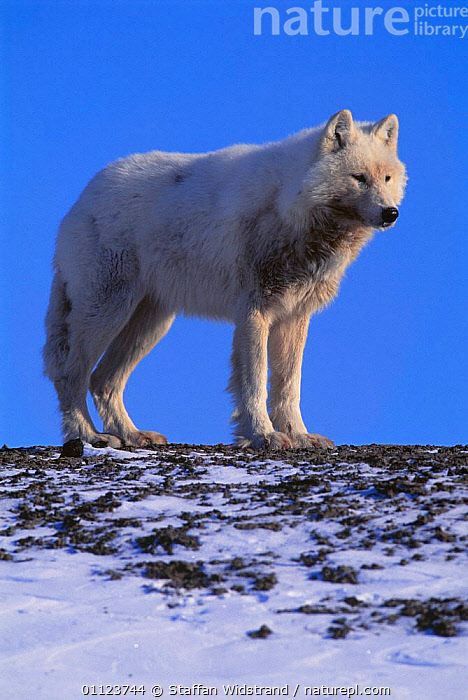 Arctic Grey wolf portrait {Canis lupus} Ellesmere Island, Canada.  ,  CANADA,CARNIVORES,MAMMALS,NORTH AMERICA,SNOW,VERTICAL,WOLVES,Dogs,Canids , planet earth  ,  Staffan Widstrand