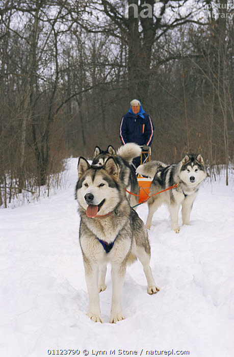 Alaskan malamute dogs pulling sledge {Canis familiaris} USA  ,  CANIDS,CARNIVORES,DOGS,NORTH AMERICA,PEOPLE,PETS,PORTRAITS,SLED,SNOW,USA,VERTEBRATES,VERTICAL,WINTER,WORKING  ,  Lynn M Stone