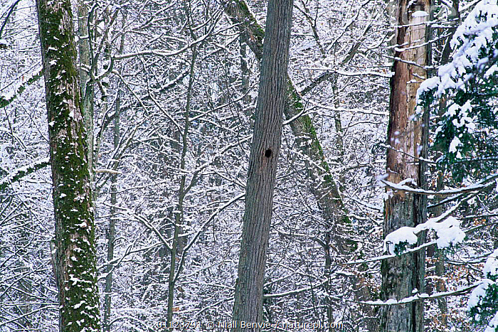 Primeval forest in winter with black woodpecker hole, Bialowieza NP, Poland  ,  ABSTRACT,BIRDS,COLD,EASTERN EUROPE,EUROPE,FORESTS,NESTS,NP,POLAND,RESERVE,SNOW,TREES,TRUNKS,WINTER,WOODLANDS,Plants,National Park  ,  Niall Benvie