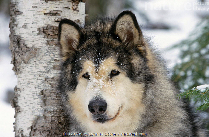 Alaskan malamute dog portrait (Canis familiaris) USA  ,  CANIDS,CARNIVORES,DOGS,FACES,HEADS,NORTH AMERICA,PETS,PORTRAITS,USA,VERTEBRATES,WINTER  ,  Lynn M Stone