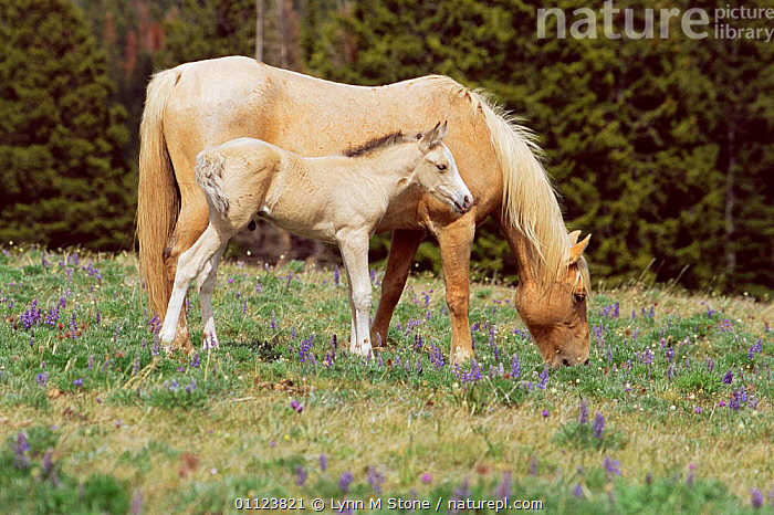Wild horse and foal, Mustang {Equus caballus} Pryor mts, Montana, USA.  ,  MUSTANGS,BABIES,FAMILIES,HORSES,MAMMALS,NORTH AMERICA,PERISSODACTYLA,BABY,USA,MOTHER,Equines  ,  Lynn M Stone