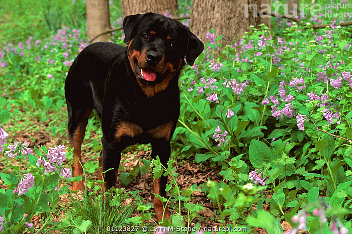 Rottweiler dog in woodland {Canis familiaris} USA  ,  CANIDS,CARNIVORES,DOGS,FLOWERS,MAMMALS,NORTH AMERICA,OUTDOORS,PETS,SPRING,USA,VERTEBRATES,WOODLANDS  ,  Lynn M Stone