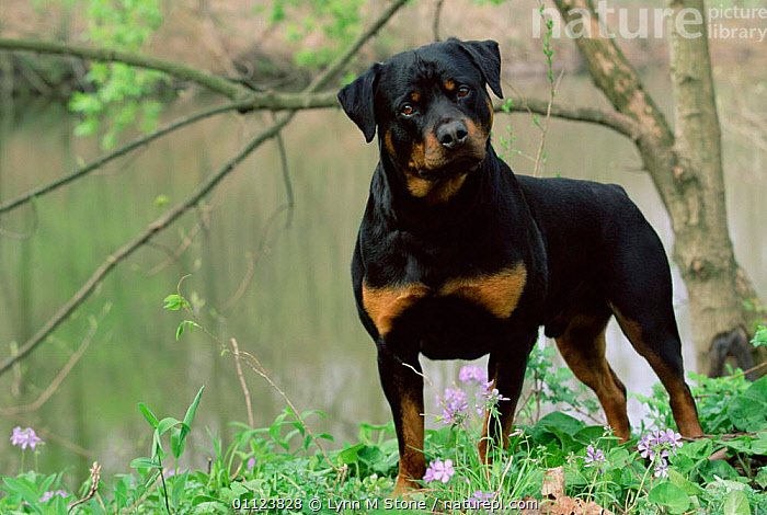 Rottweiler dog in woodland {Canis familiaris} USA.  ,  MAMMALS,ROTT,CARNIVORES,NORTH AMERICA,USA,DOGS,PETS,Canids  ,  Lynn M Stone