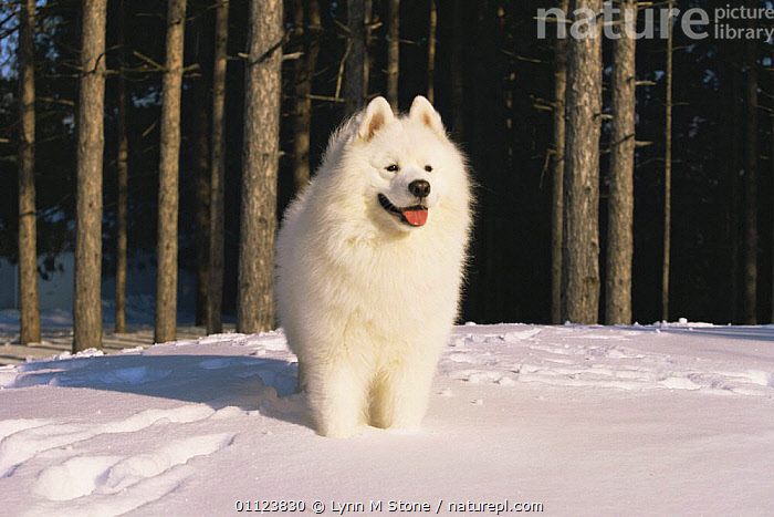 Samoyed dog in snow {Canis familiaris} US  ,  CANIDS,CARNIVORES,DOGS,MAMMALS,NORTH AMERICA,PETS,SNOW,USA,VERTEBRATES,WINTER  ,  Lynn M Stone