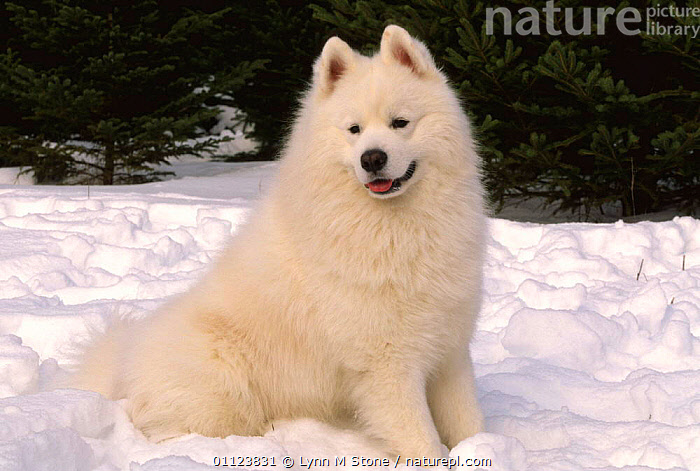 Samoyed dog in snow {Canis familiaris} USA  ,  CANIDS,CARNIVORES,DOGS,MAMMALS,NORTH AMERICA,OUTDOORS,PETS,SNOW,USA,VERTEBRATES,WINTER  ,  Lynn M Stone