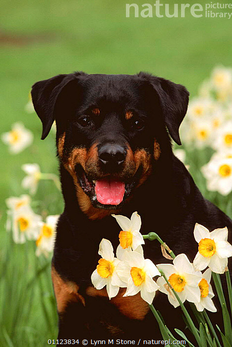 Rottweiler dog amongst Daffodils {Canis familiaris} USA  ,  CANIDS,CARNIVORES,DOGS,FACES,FLOWERS,HEADS,MAMMALS,NORTH AMERICA,OUTDOORS,PETS,PORTRAITS,SPRING,USA,VERTEBRATES,VERTICAL  ,  Lynn M Stone