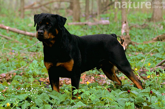 Rottweiler dog in woodland {Canis familiaris} USA  ,  CANIDS,CARNIVORES,DOGS,MAMMALS,NORTH AMERICA,OUTDOORS,PETS,USA,VERTEBRATES,WOODLANDS  ,  Lynn M Stone
