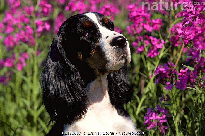 English springer spaniel dog {Canis familiaris} USA  ,  CANIDS,CARNIVORES,DOGS,FACES,FLOWERS,HEADS,MAMMALS,NORTH AMERICA,PETS,PORTRAITS,USA,VERTEBRATES  ,  Lynn M Stone