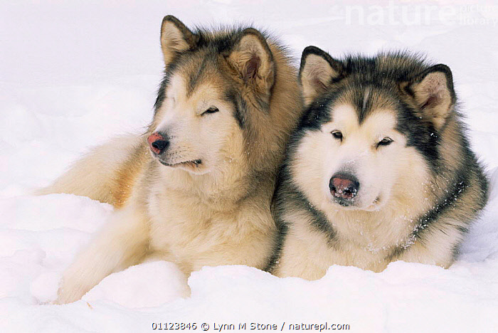Two Alaskan malamute dogs {Canis familiaris} USA.  ,  NORTH AMERICA,PETS,USA,WINTER,HUSKY,SNOW,Dogs,Canids  ,  Lynn M Stone
