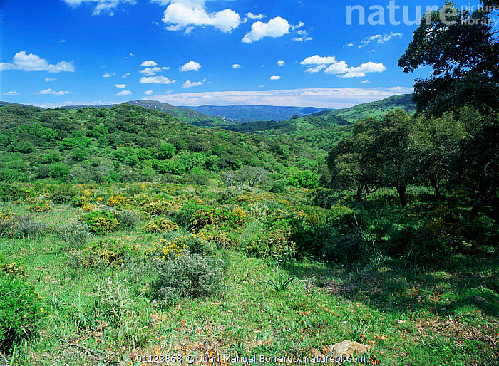 Looking out across scrub habitat of Los Alcornocales NP, Cadiz, Andalusia, Spain, Europe  ,  COUNTRYSIDE,EUROPE,LANDSCAPES,NP,RESERVE,SPAIN,TREES,WOODLANDS,Plants,National Park  ,  Juan Manuel Borrero