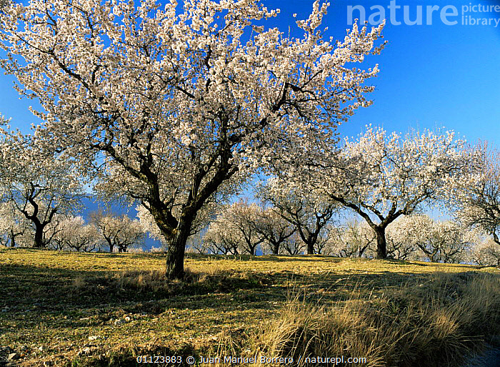 Almond orchard wth spring blossom, Lerida, Catalonia, Spain, Europe  ,  AGRICULTURE,almond,COUNTRYSIDE,CROPS,EUROPE,FARMLAND,flowering,FRUIT,groves,monoculture,SPAIN,SPRING,TREES,Plants  ,  Juan Manuel Borrero
