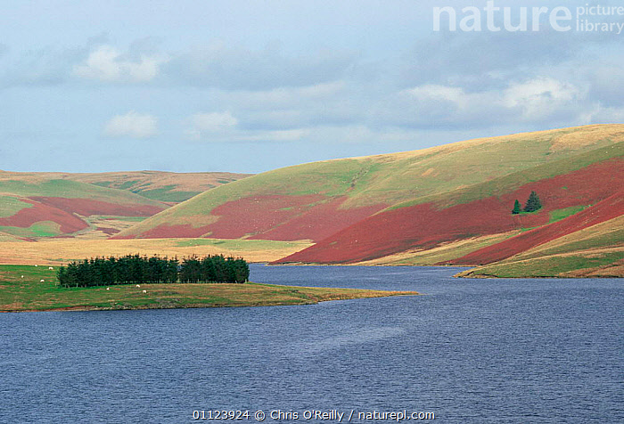 Pen-Y-Garreg reservoir, with heather in flower on surrounding moorland, Elan Valley, Wales  ,  AUTUMN,EUROPE,LAKES,LANDSCAPES,UK,WALES,WATER,United Kingdom,British  ,  Chris O'Reilly