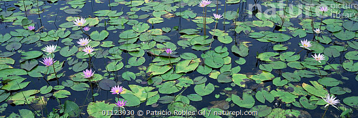Waterlilies flowering in Southern Tamaulipas wetlands, Mexico  ,  AQUATIC,CENTRAL AMERICA,FLOWERS,FRESHWATER,LILIES,MEXICO,PANORAMIC,PLANTS,TROPICAL,WATER,WETLANDS,CENTRAL-AMERICA  ,  Patricio Robles Gil