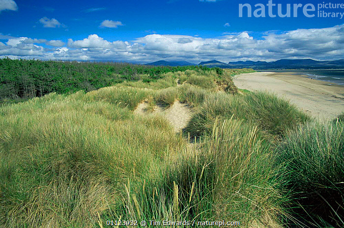 Sand dunes with marram grass colonisation at Newborough Warren nature reserve, Anglesea, Wales  ,  BEACHES,COASTS,EUROPE,GRASSES,LANDSCAPES,MARINE,Marram,RESERVE,SAND DUNES,UK,WALES,United Kingdom,Deserts,British, United Kingdom, United Kingdom  ,  Tim Edwards